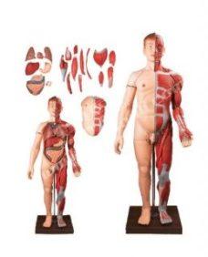 56 Moduli anatomii cheloveka